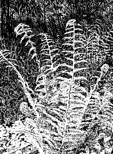 Fern in Sunlight by Ruth Randall