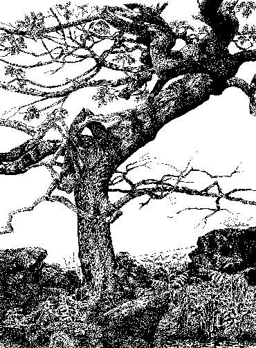 Twisted Oak, Warren Hills by Ruth Randall