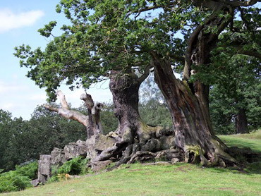 Trees at Bradgate Park