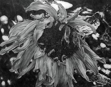 Thumbnail image of Sunflower by Andrew Jackson