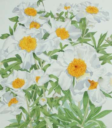 Thumbnail image of White Peony by Mary Rodgers